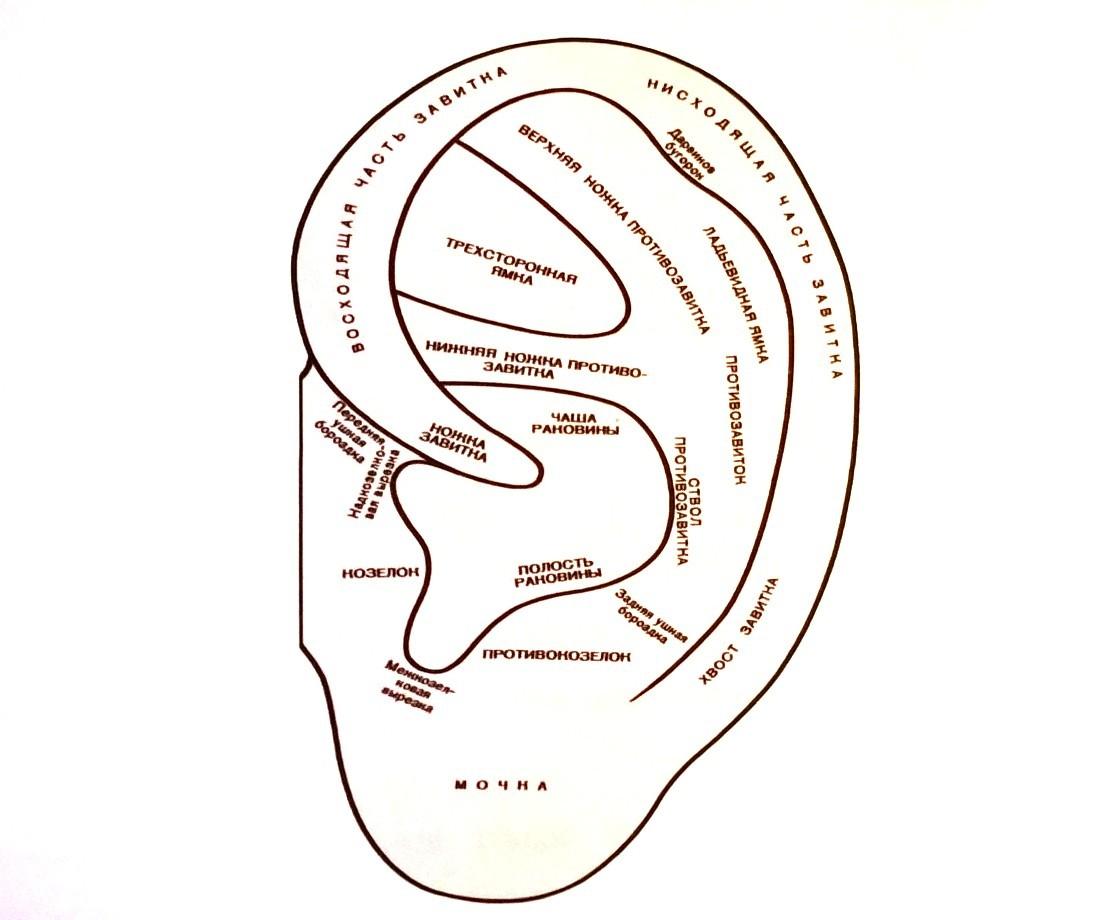 Анатомия (строение) ушной раковины