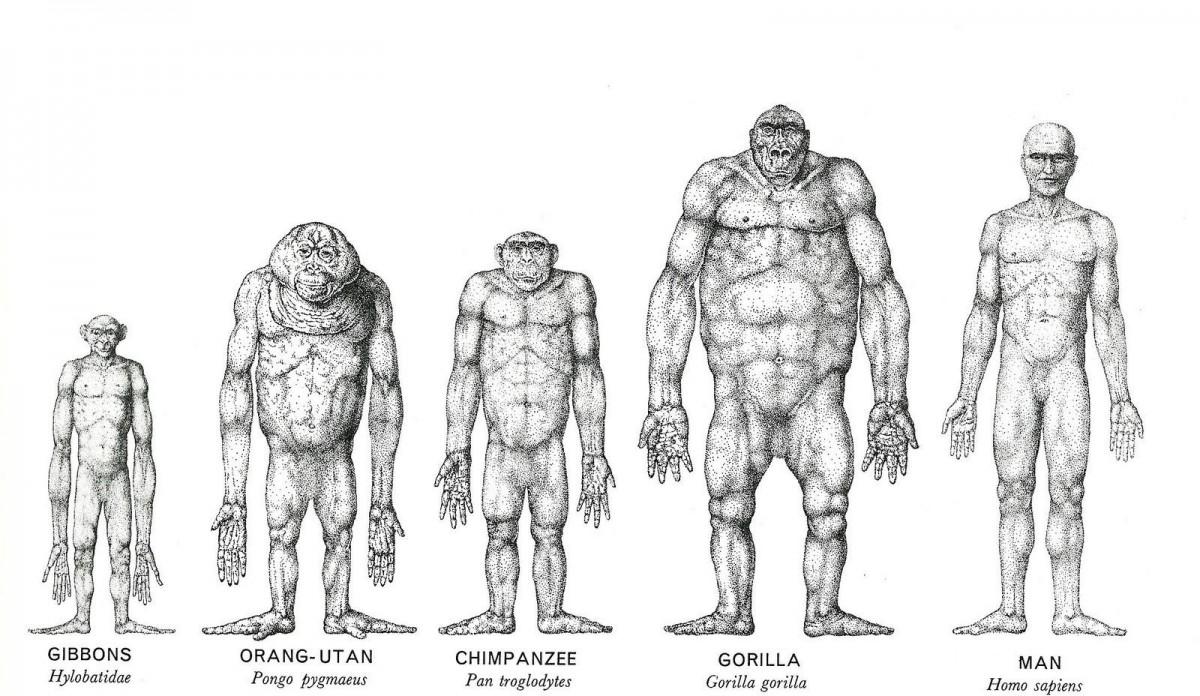 сравнение человека с гиббоном, орангутаном, шимпанзе и гориллой