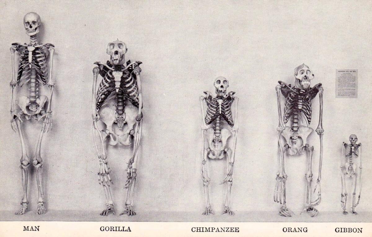 сравнение человека с обезьянами