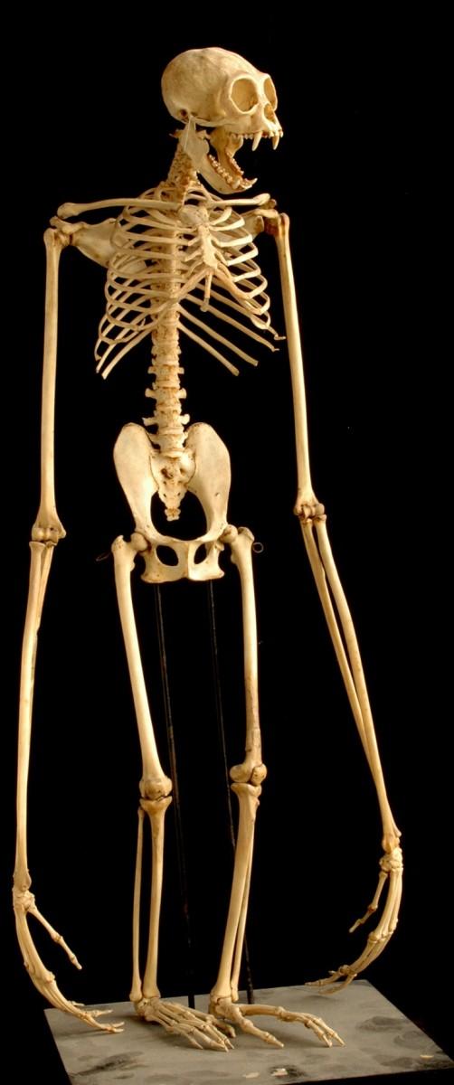 скелет гиббона
