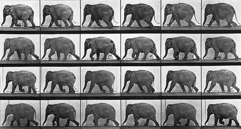 Слон серия фото Муибриджа - походка слонов