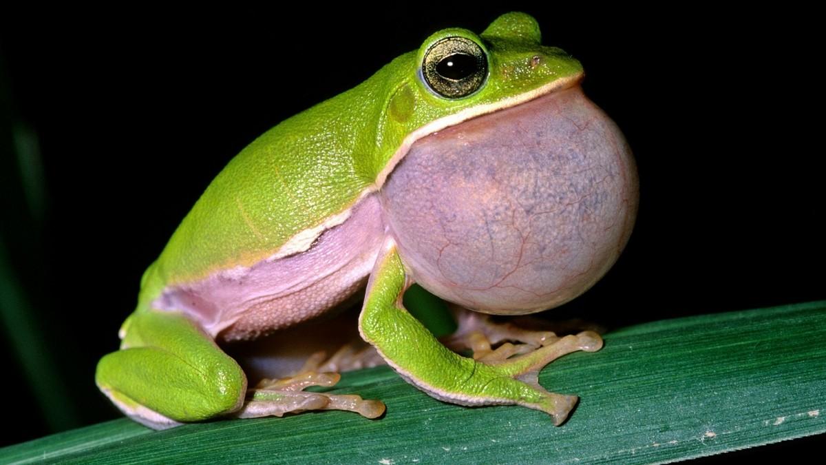 лягушка куруру - йерба мате