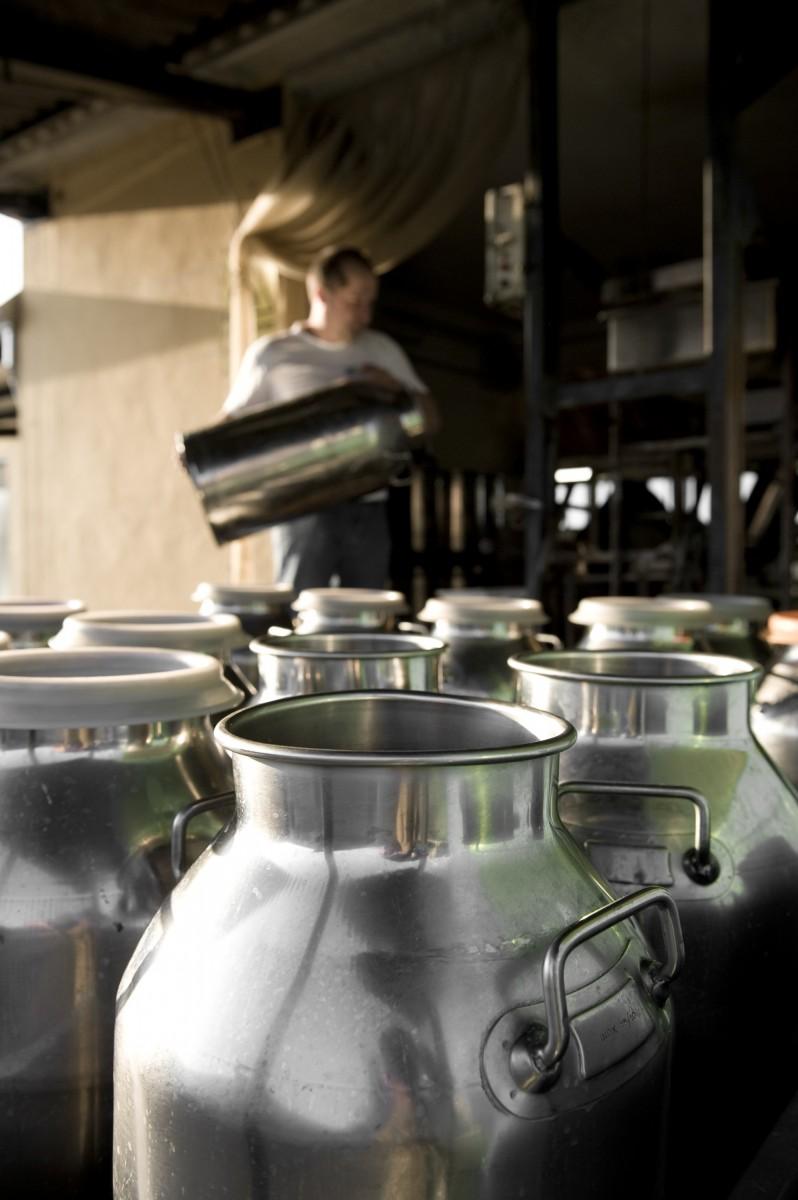 бидоны с молоком для будущего сыра пармезан