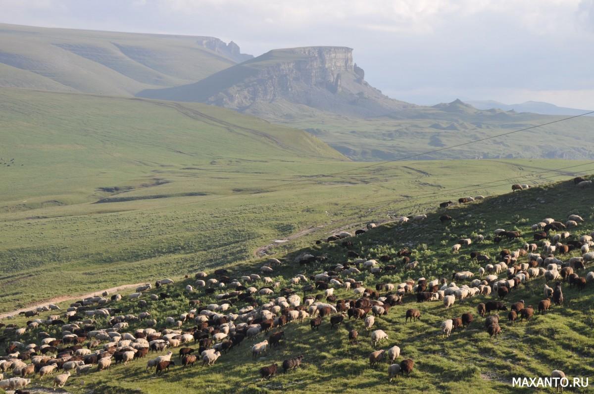 Кошары, стада овец и баранов, Карачаево-Черкессия